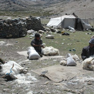 A young person kneels in a grassy field, shoveling Changthangi goat wool into small bags. One goat lies on the groundnearby.