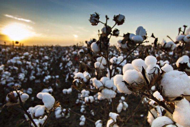 Photograph of Cotton growing in a field