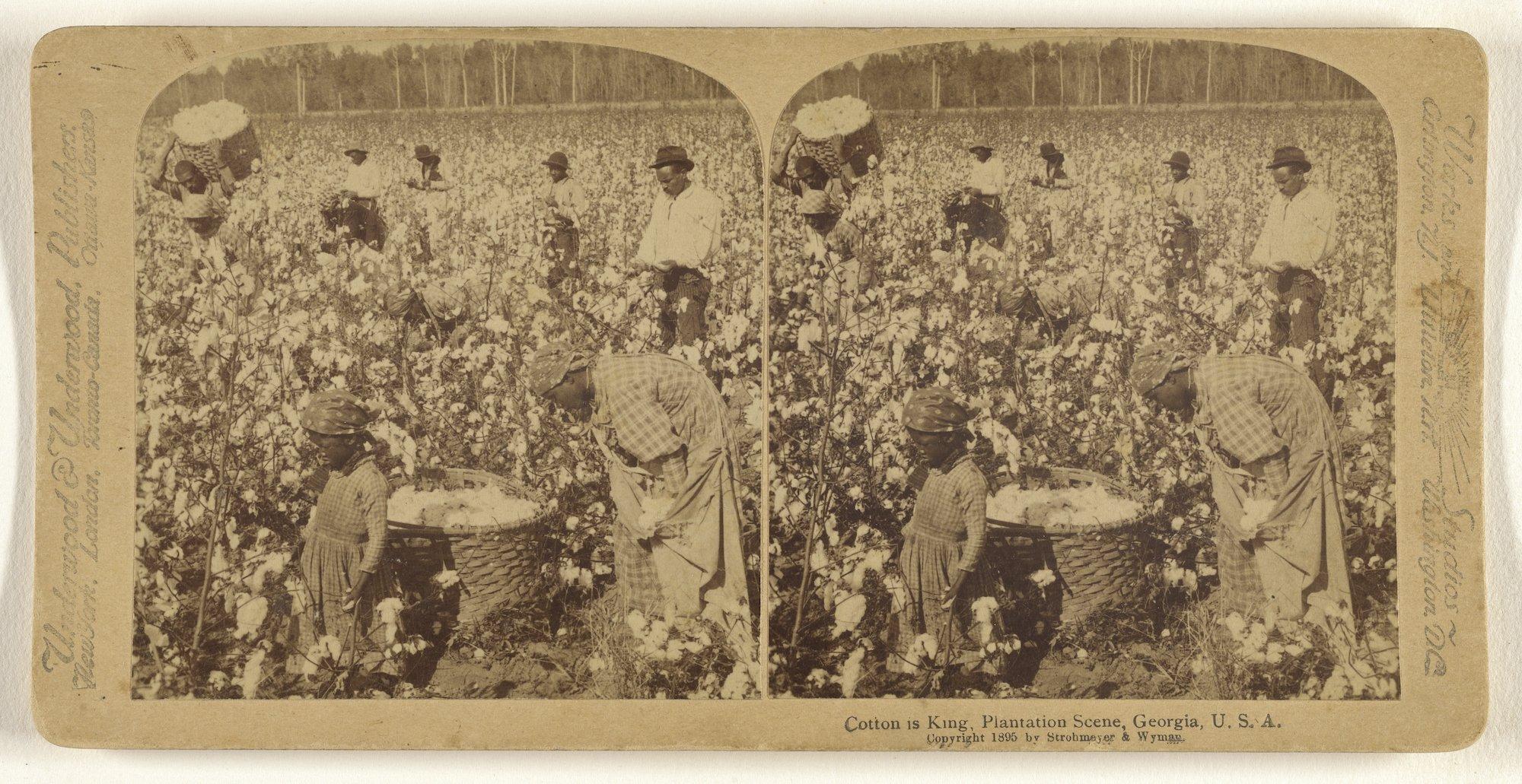Photograph of a cotton plantation