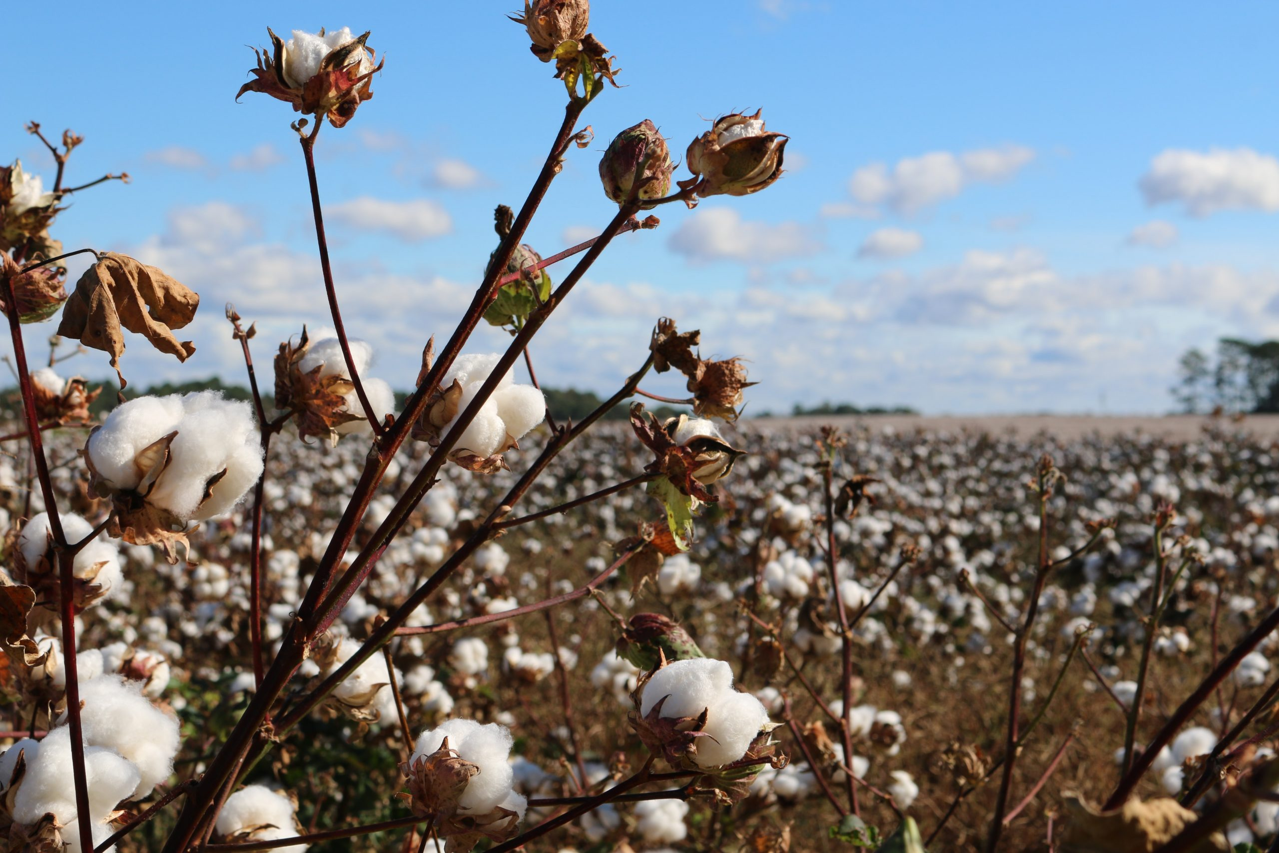 Image of a cotton field.